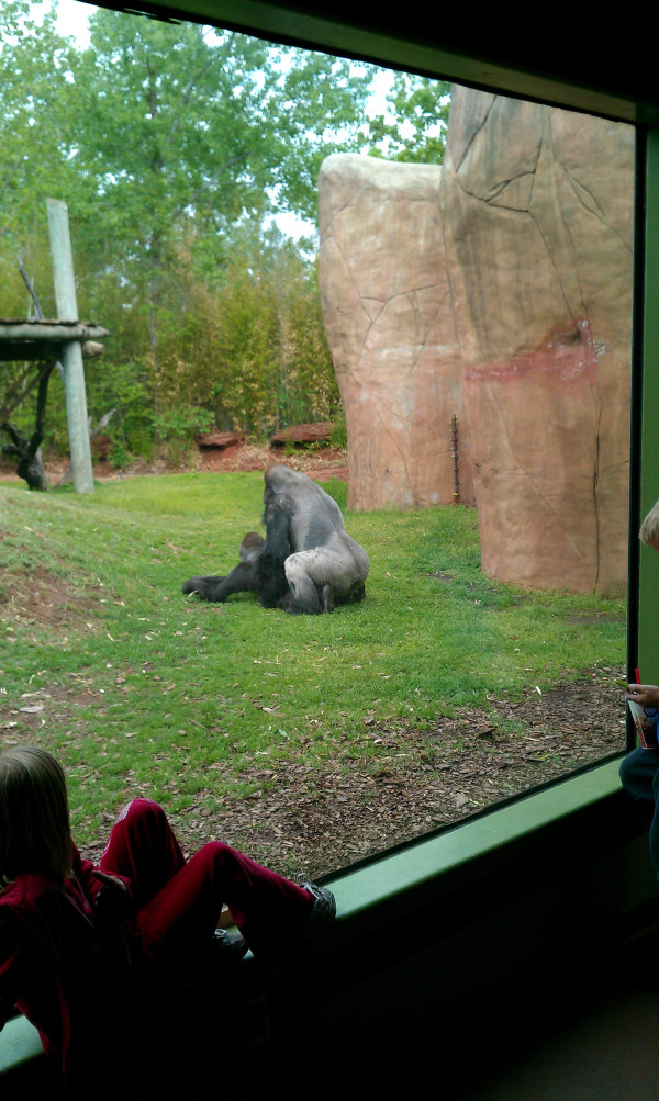Gorillas mating